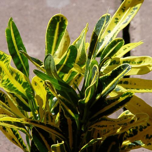 Banana Croton