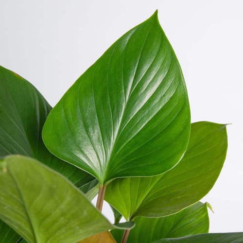 Homalomena Leaf