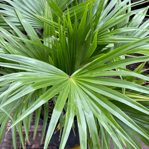 Palm Houseplants