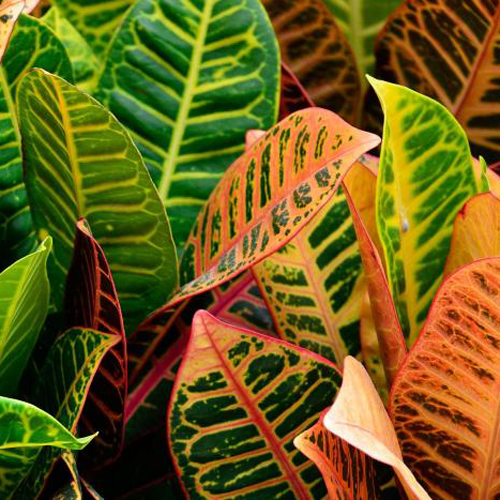 Croton Houseplants