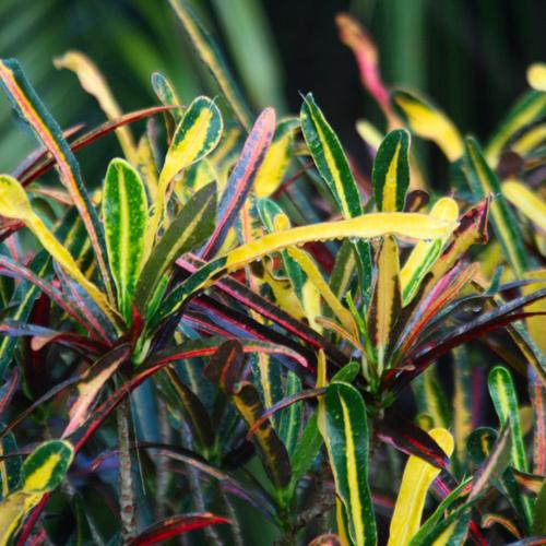 Lauren's Rainbow Croton