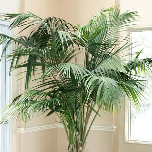 Majesty Palm