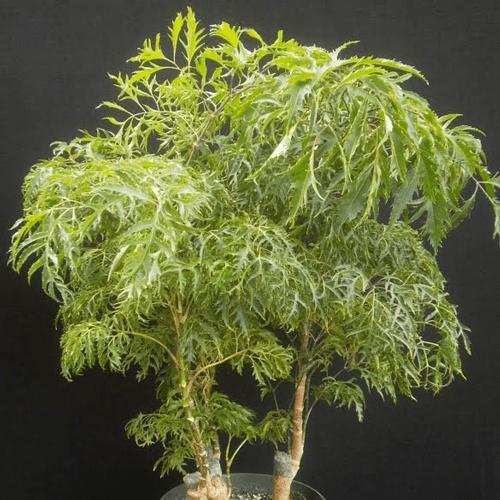 Aralia Houseplants