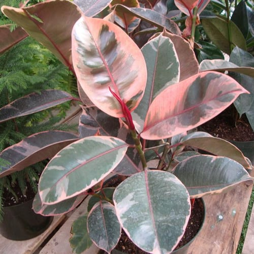 RED RUBY RUBBER TREE