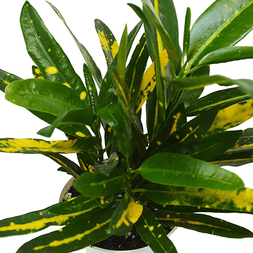 Sunny Star Croton