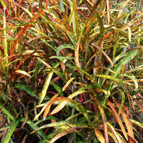 Zanzibar Croton