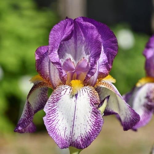 Bearded Iris Plants