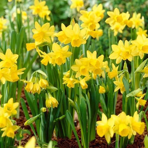 Mini Daffodil