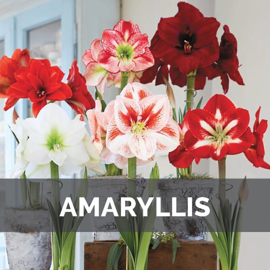 Amaryllis Flowers at City Floral