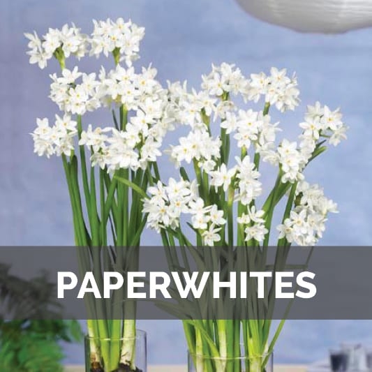 Paperwhite Bulbs at City Floral