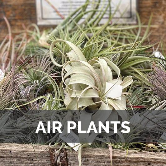 Air Plants at City Floral Garden Center in Denver