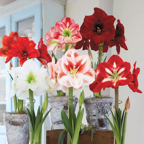 Various amaryllis bulbs