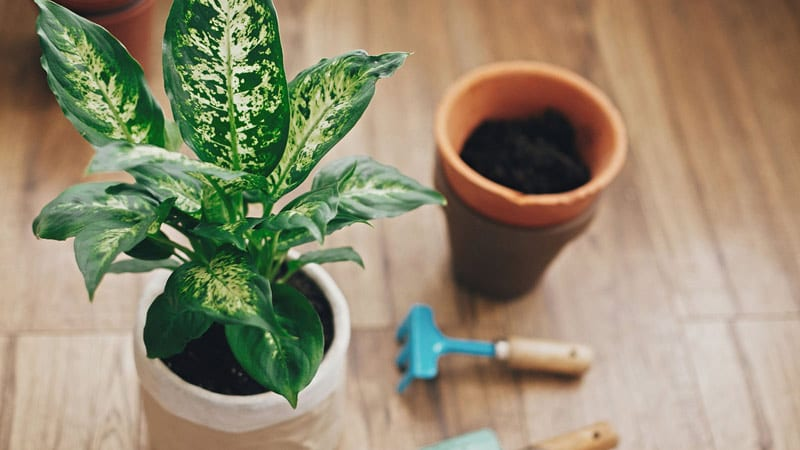 Soil for Dieffenbachia houseplants