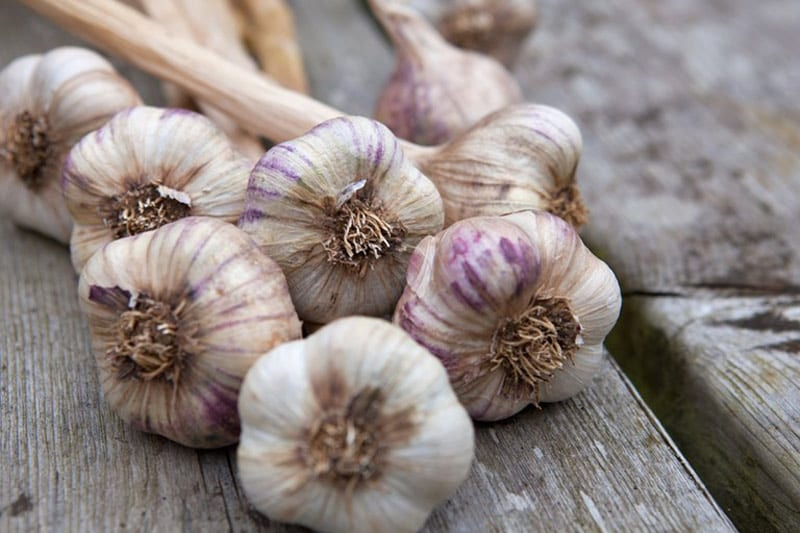 October is time to plant garlic bulbs