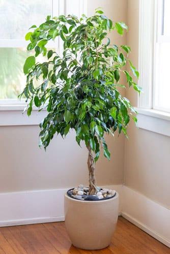 Grow Ficus Benjamina