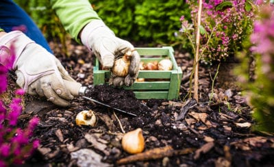 Flower bulbs choosing and planting