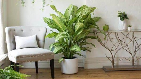 Dieffenbachia houseplants in your home