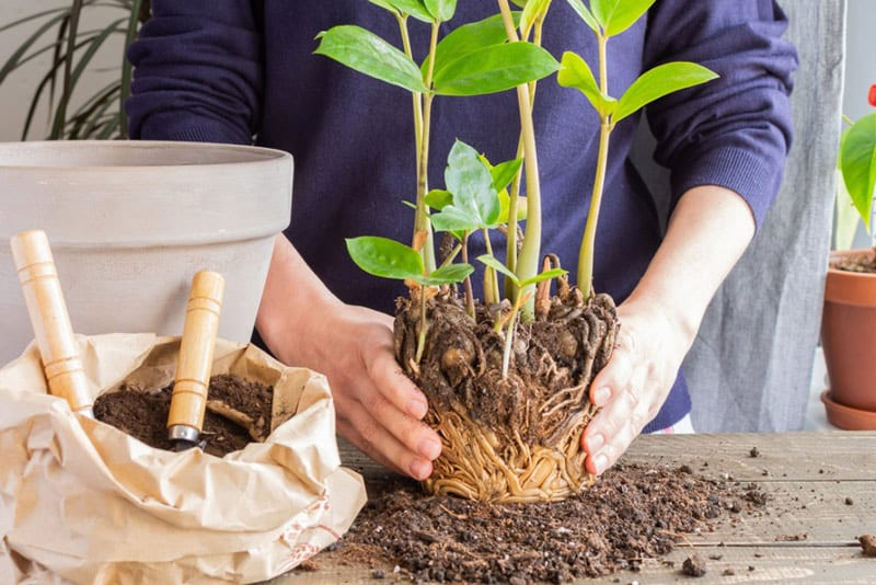Repotting your plants after being outside for the summer months