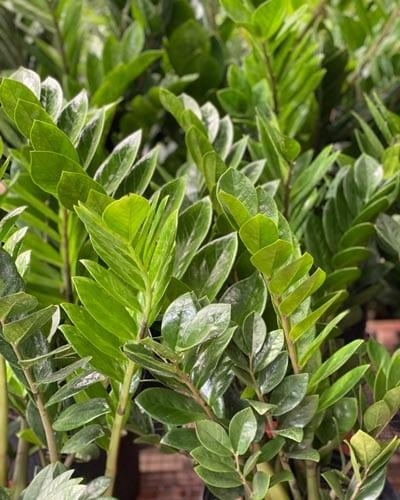 Traditional ZZ Plant