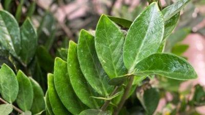 ZZ Plant Spotlight