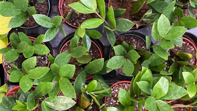 ZZ plants