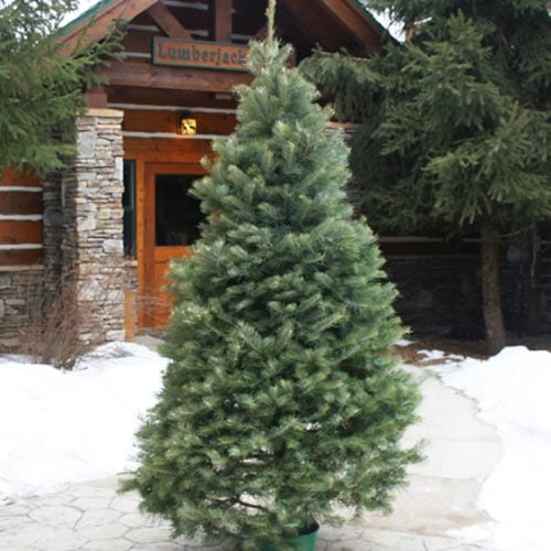 CONCOLOR FIR CHRISTMAS TREES