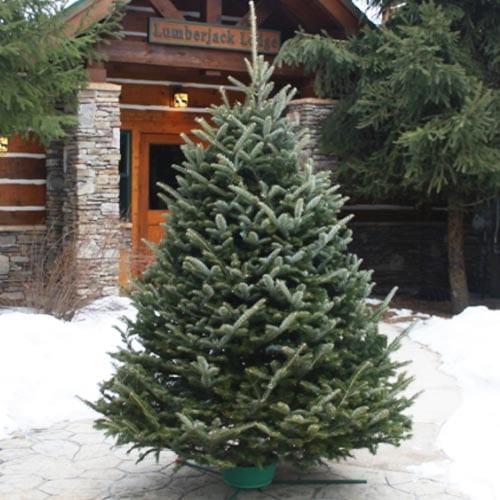 FRASIER FIR CHRISTMAS TREES