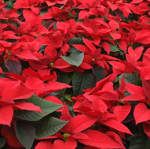 Blooming Holiday Flowers