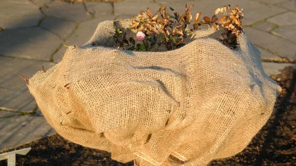 Protect your rose bushes