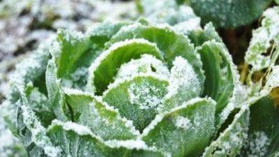 Harvest cold-weather vegetables
