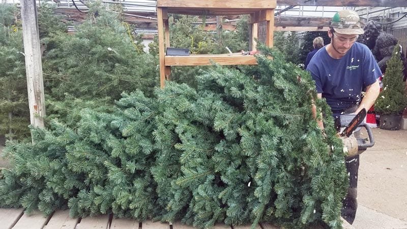 Fresh Cut Christmas trees from City Floral