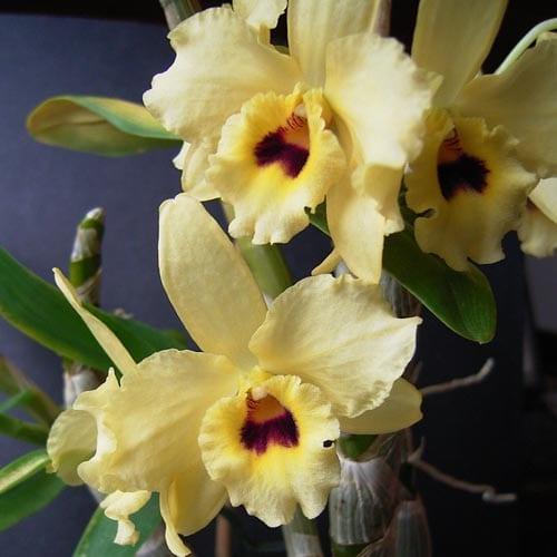 Nobile Dendrobium Care