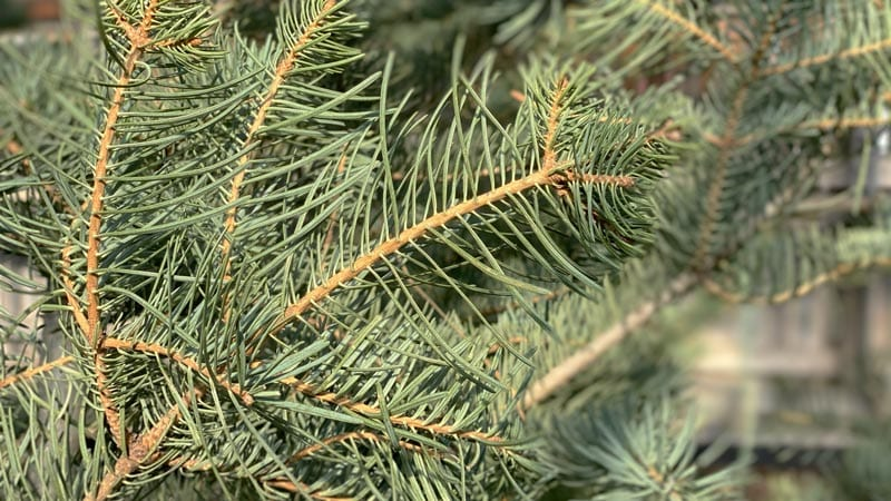 Buy a Concolor Christmas tree