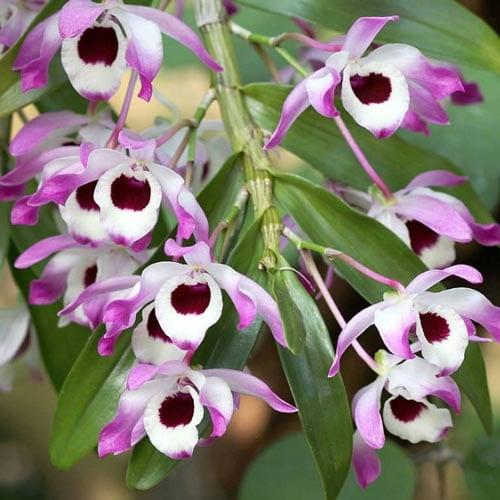 Noble Dendrobium Orchids