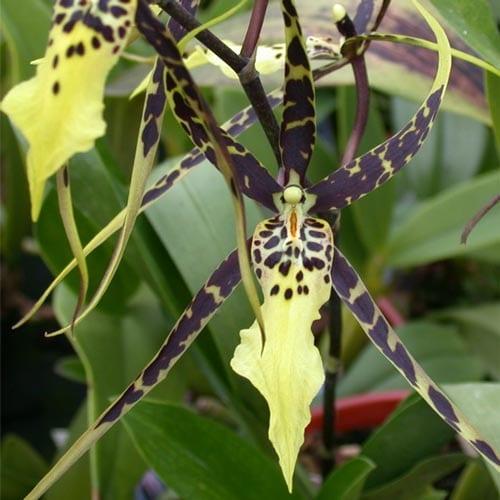 Brassia Orchids