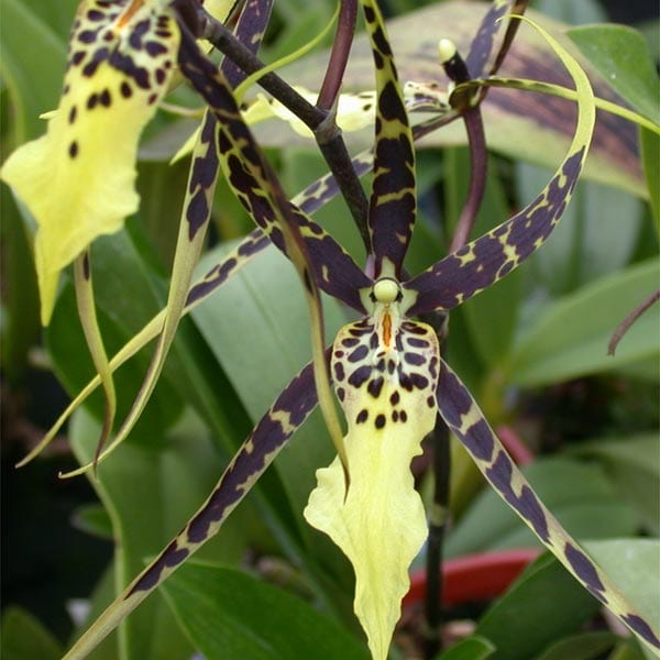 Brassia Orchid potting