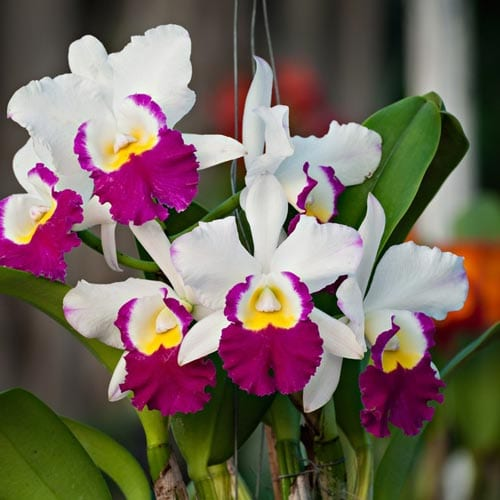 Potting Cattleya Orchids