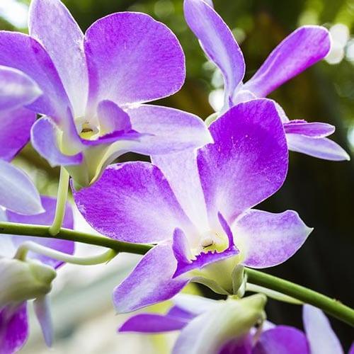 Denrodium Orchids
