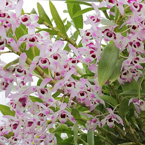 Potting Nobile Dendrobium Orchids