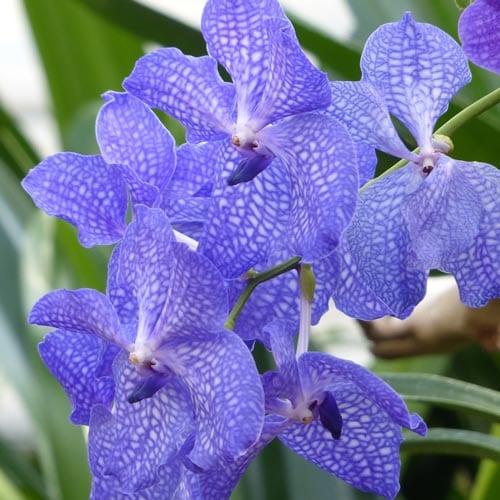 Potting Vandaceous Orchids