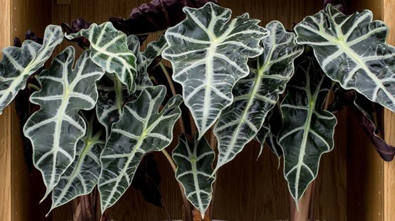 Alocasia Houseplant