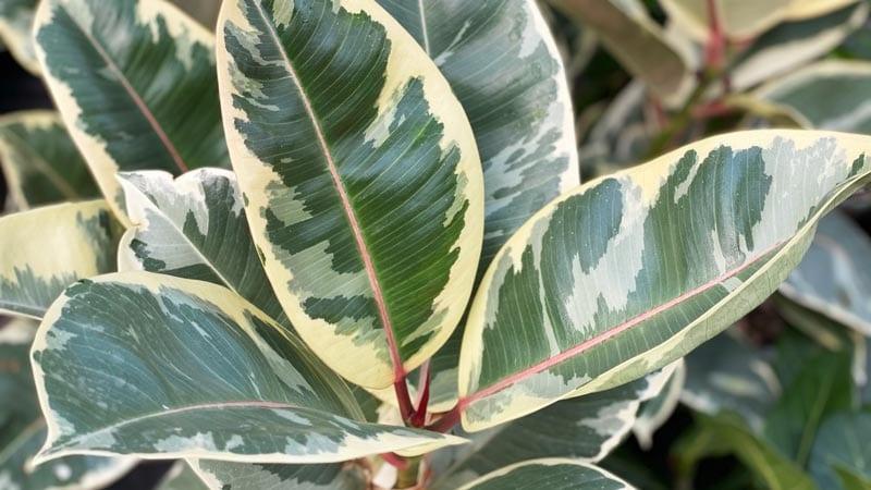 Ficus Altissma Houseplant