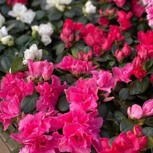 Azeleas Flowers