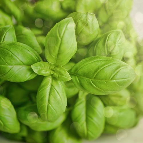 Basil Herb Seeds