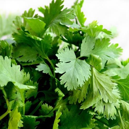 Cilantro Herb Seeds