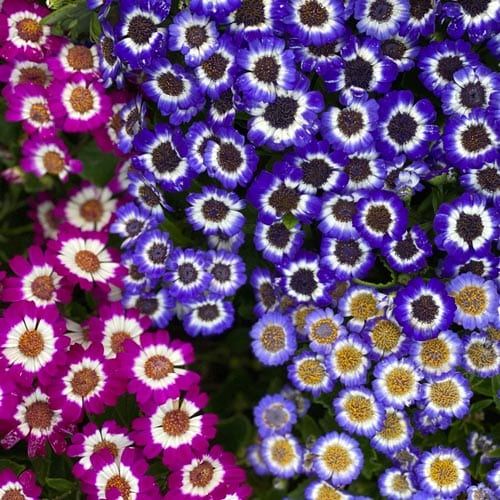 Cineraria Blooming Plants