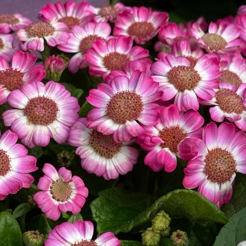 Cineraria Flowers Description