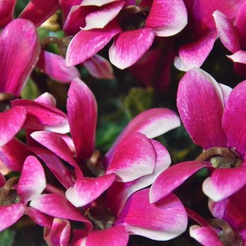 Cyclamen Blooming