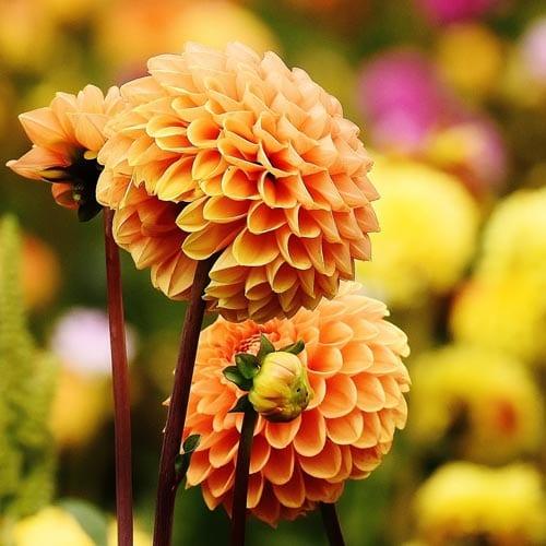 Dahlia Flower Seeds
