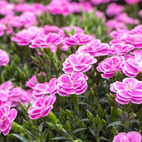 Dianthus Blooming Plants